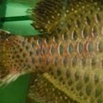 Flossenfäule
