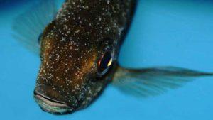 Pünktchenkrankheit bei Teichfischen behandeln