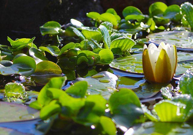 Gartenteich hilfe gartenteich fischteich schwimmteich for Gartenteich reinigen algen