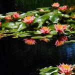 Blühende Seerosen im Gartententeich