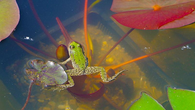 Frosch im Gartenteich