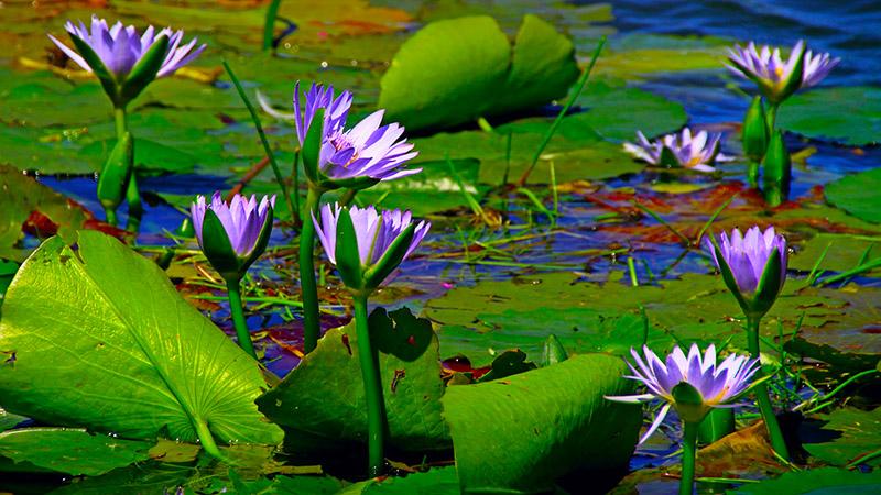 blühende Wasserlilien im Gartenteich