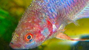 Pilzerkrankungen bei Teichfischen behandeln