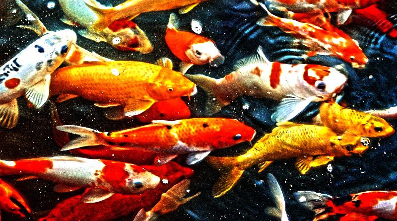 Fischteich archive gartenteich hilfe for Koi im gartenteich