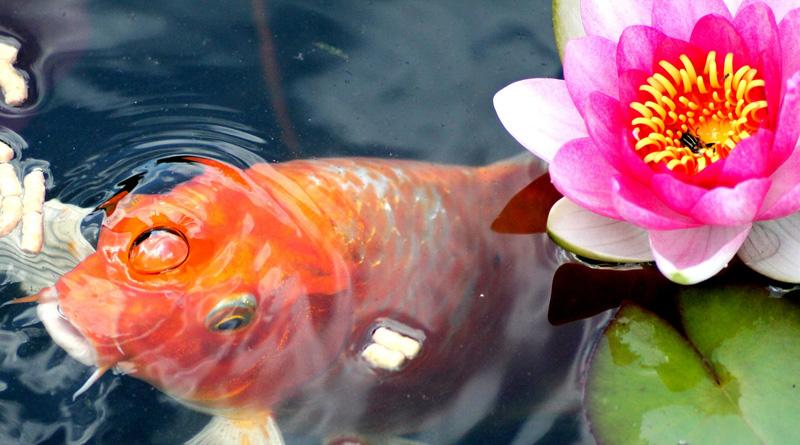 Teichfische im gartenteich gartenteich hilfe for Fischbesatz teich