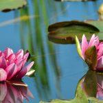 Schwimmpflanzen im Gartenteich