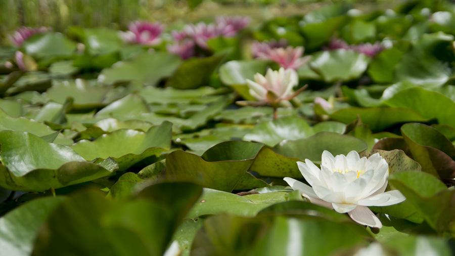Etwas Neues genug Schwimmpflanzen im Gartenteich - Gartenteich Hilfe @WJ_48